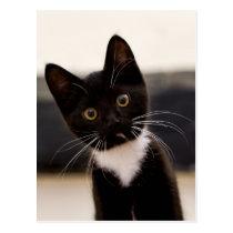 Cute Black And White Tuxedo Kitten Postcard