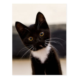 Cute Black And White Tuxedo Kitten Postcard