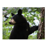 Cute Black Bear Cub Climbing On The Tree In Forest Postcards