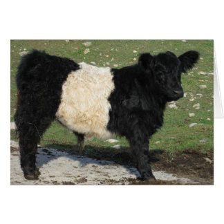Cute Black Belted Galloway Calf Card