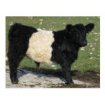 Cute Black Belted Galloway Calf Post Card
