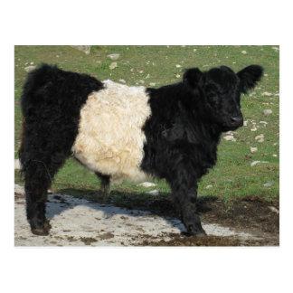 Cute Black Belted Galloway Calf Postcard