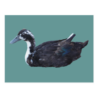 Cute Black Duck Farm Animal Postcard