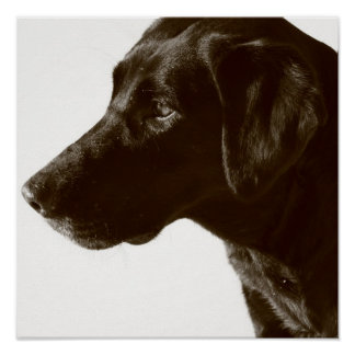 Cute Black Lab Poster