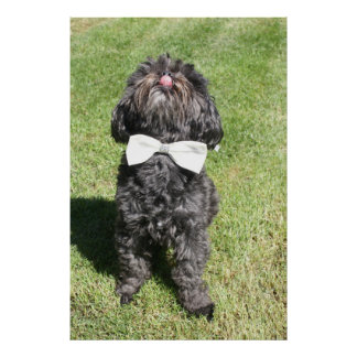 Cute Black Poodle in Bowtie with Tongue Out Poster