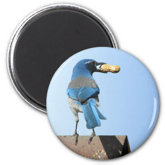 Cute Blue Scrub Jay Bird & Peanut 2 Inch Round Magnet
