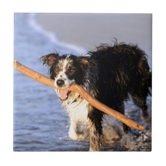Cute border collie dog with stick on beach tile