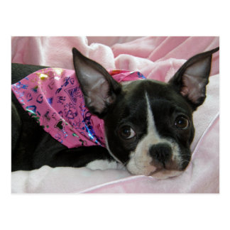 Cute Boston Terrier Puppy Postcard