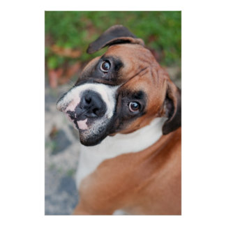 Cute boxer dog poster