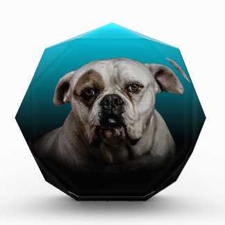 Cute Boxer Dog w Blue Black Gradient  background Award