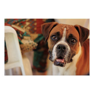 Cute Boxer Poster