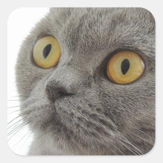 Cute British Shorthair cat Square Sticker