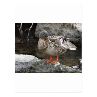 Cute brown duck postcard