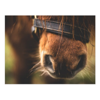 Cute Brown Horse Nose Postcard