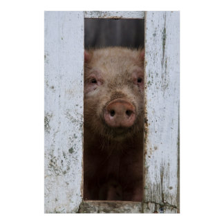 Cute But Sad Looking Baby Pig Looking Through Poster