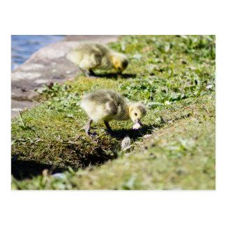 Cute Canada Goose Gosling Postcard
