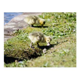 Cute Canada Gosling Postcard