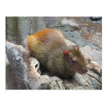 Cute Capybara Animal Postcard