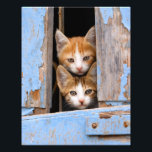 "Cute Cat Kittens in Blue Vintage Window Paperprint Photo Print<br><div class=""desc"">Two curious baby kittens peering out of an old blue wooden window shutter with prying eyes. This animal photo on a photo paper poster is a gift idea for pet and cat lovers. A cute picture with enchanting cat portraits, photo taken in Greece by Katho Menden. http://www.zazzle.com/kathom_photo If you are...</div>"