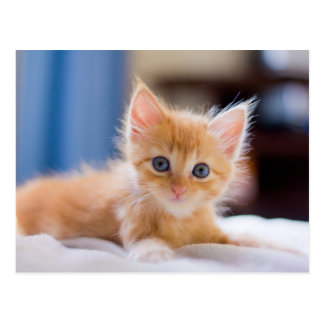 Cute Cat With Blue Eyes Postcard
