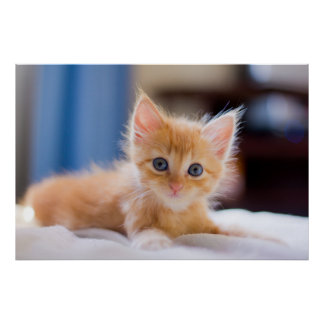 Cute Cat With Blue Eyes Poster