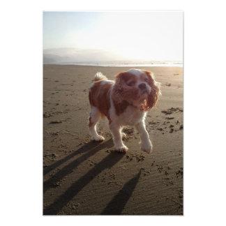 Cute Cavalier King Charles Spaniel Dog at Beach Photo Print
