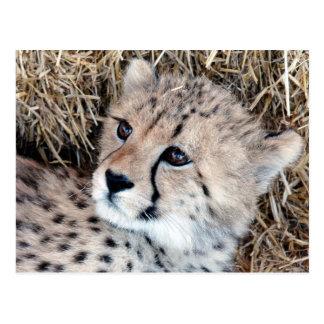 Cute Cheetah Cub Photo Postcard