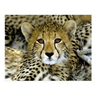 Cute Cheetah Postcard