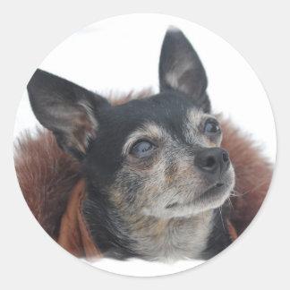 Cute Chihuahua Photos Sticker