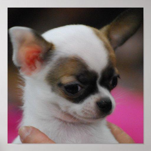 Cute Chihuahua Poster
