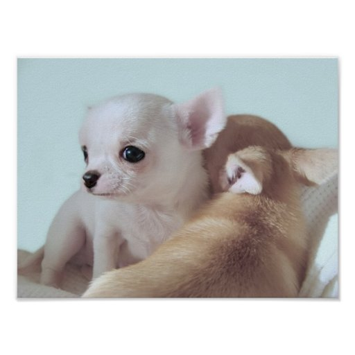 Cute chihuahua puppies posters and prints