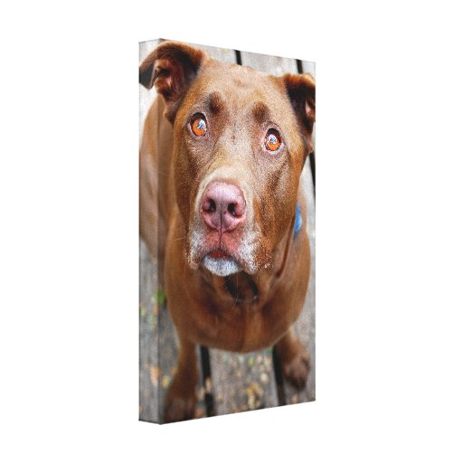 Cute Chocolate Lab Pit Mix Dog 7 Gallery Wrap Canvas