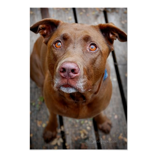 Cute Chocolate Lab Pit Mix Dog 7 Posters