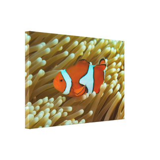 Cute Clownfish Great Barrier Reef Coral Sea Canvas Print