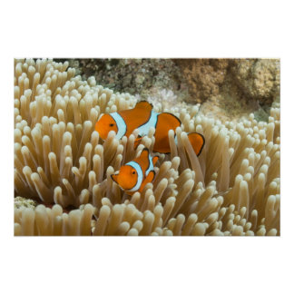 Cute Clownfish Great Barrier Reef Coral Sea Gift Poster