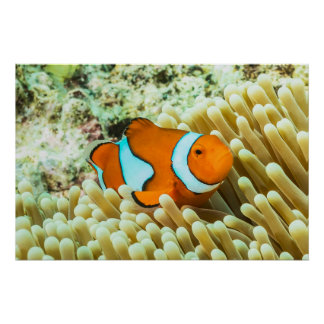 Cute Clownfish Great Barrier Reef Coral Sea Poster
