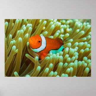 Cute Clownfish Poster