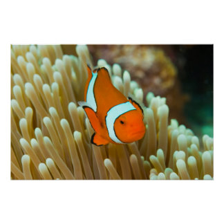 Cute Clownfish Poster