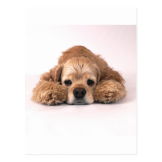 Cute Cocker Spaniel Postcard