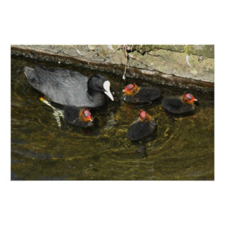 Cute Coots Poster