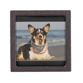 Cute Corgi Licking his Chops Gift Box