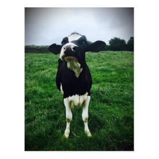 Cute cow farm animal calf postcard