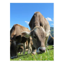 Cute cows in Austria Postcard