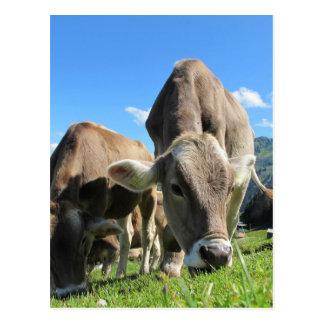 Cute cows in Austria Postcard