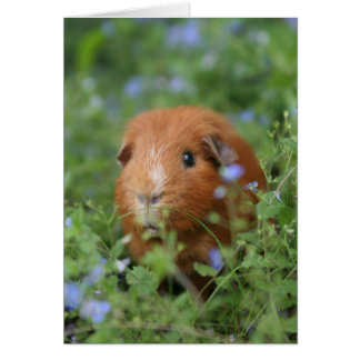 Cute cuddly ginger guinea pig outside on grass card