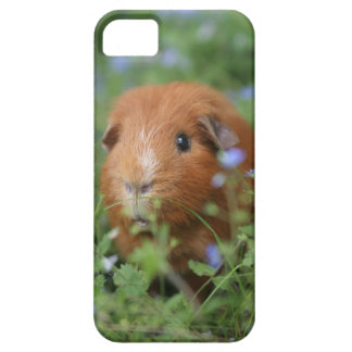 Cute cuddly ginger guinea pig outside on grass iPhone SE/5/5s case