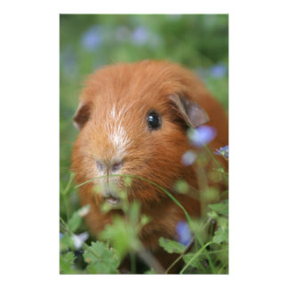 Cute cuddly ginger guinea pig outside on grass stationery