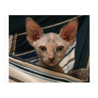 Cute curios sphynx kitten postcard