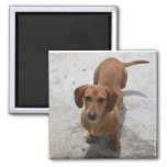 Cute Dachshund Collection 2 Inch Square Magnet
