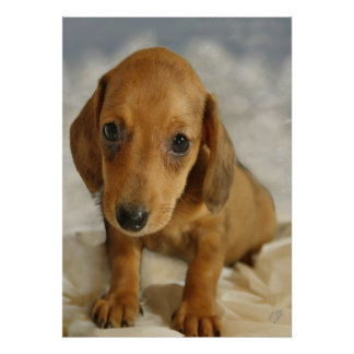 Cute Dachshund  Puppy (Cream Brown) on Nappies Poster
